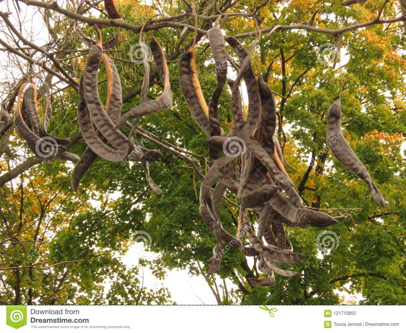 Acacia Tree With Yellow Leaves And Broun Seed Pods Stock Photo