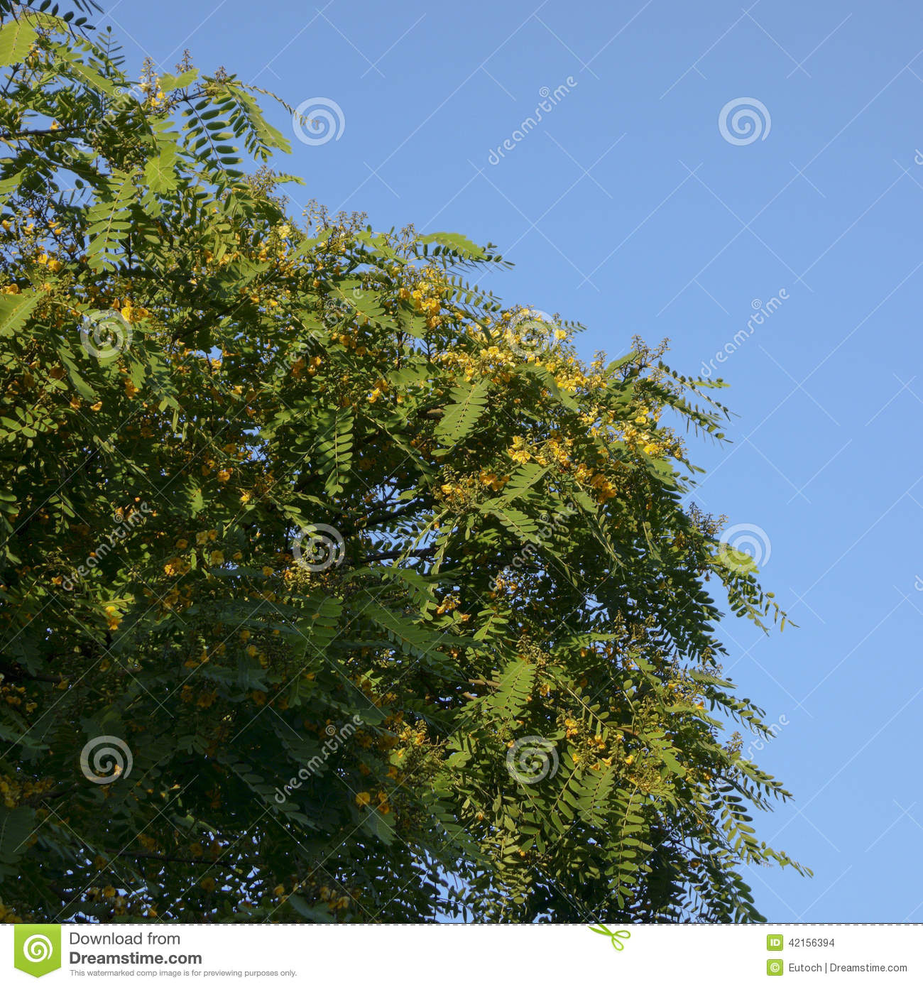 Acacia With Yellow Flowers Stock Photo Image Of California 42156394