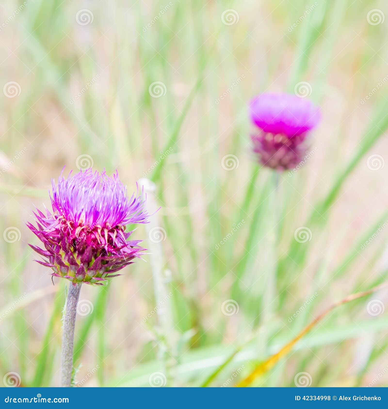 Acanthium花草甸onopordum工厂尖刻的蓟 Onopordum acanthium 尖刻的工厂