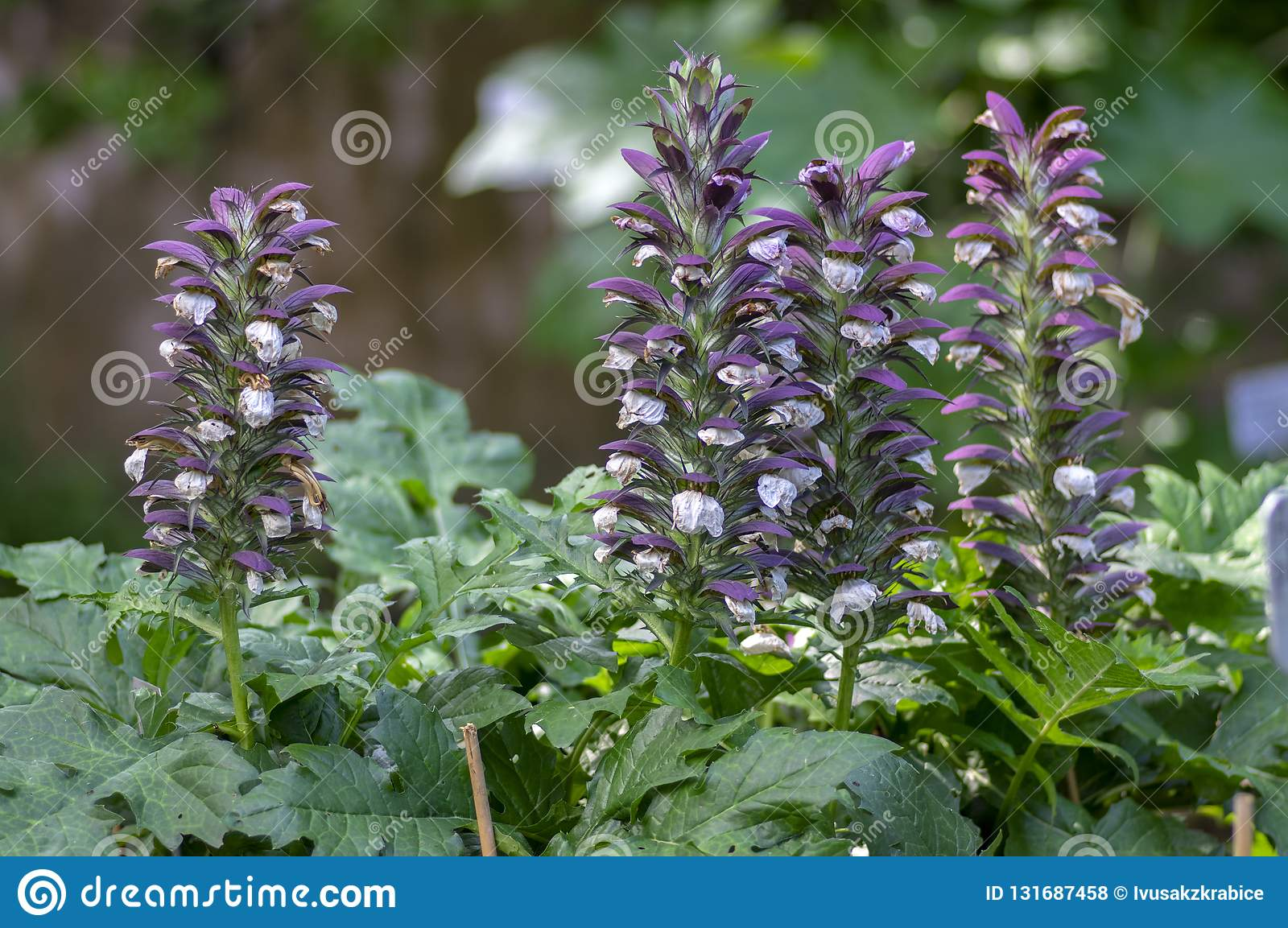 Acanthus Hungaricus High Flowering Plant Herbaceous Purple White