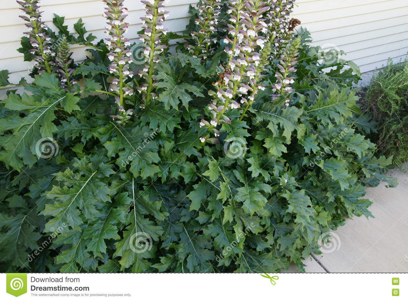 Acanthus Mollis Bears Breeches Stock Image Image Of Tall Large