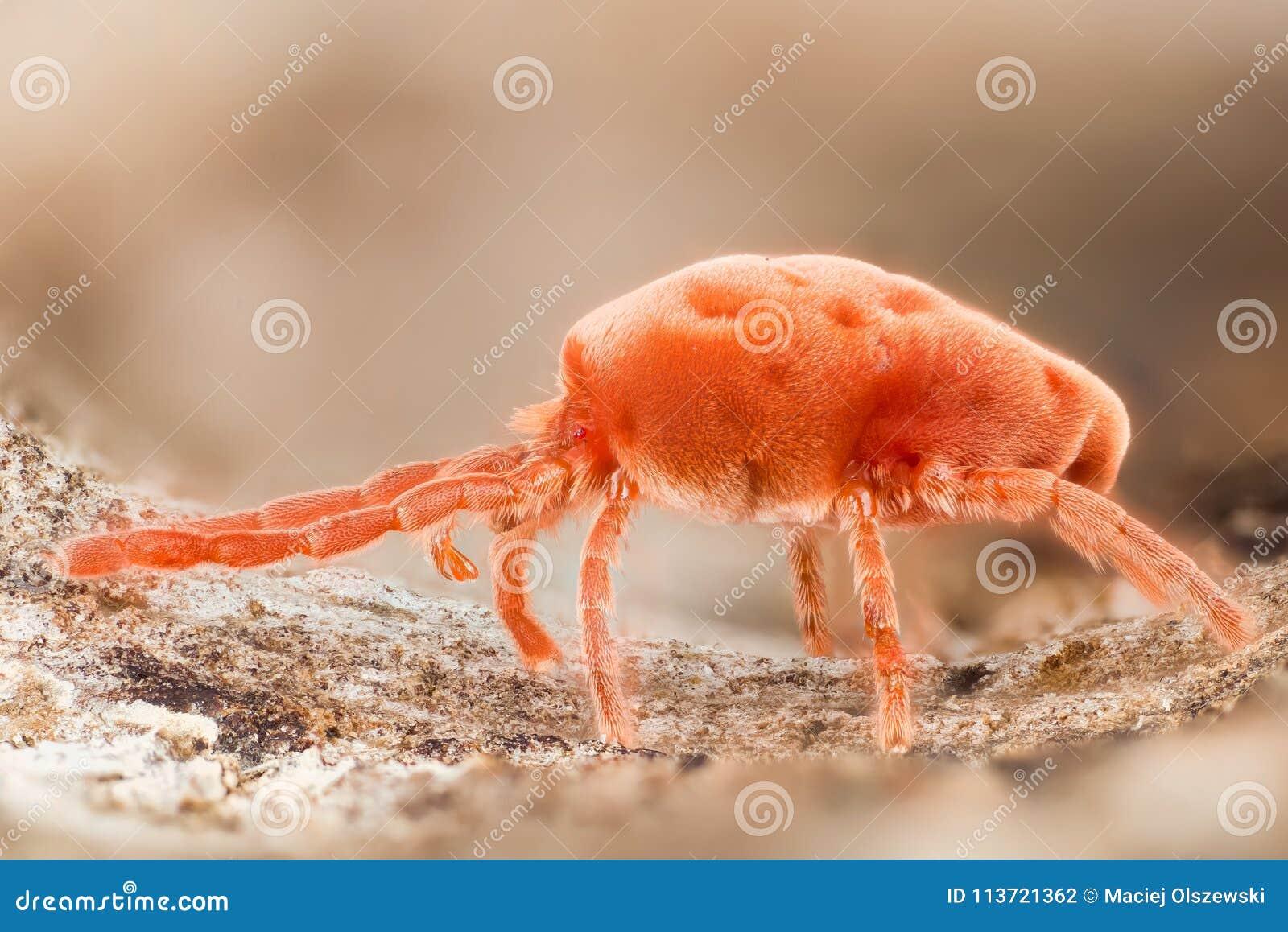 Acari Da Letto acari rossi del velluto, insetti della pioggia, trombidiidae