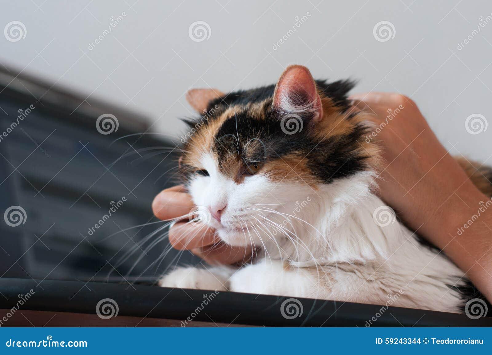 Download Acariciar el gato foto de archivo. Imagen de cosset, oficina - 59243344