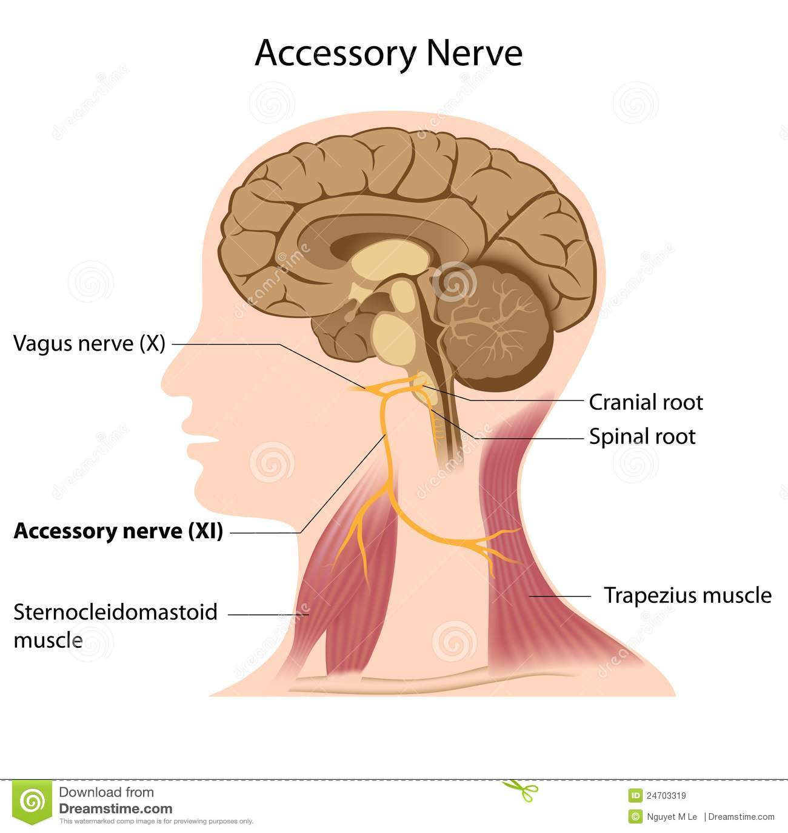 Accessory Nerve Stock Vector Illustration Of Brainstem 24703319