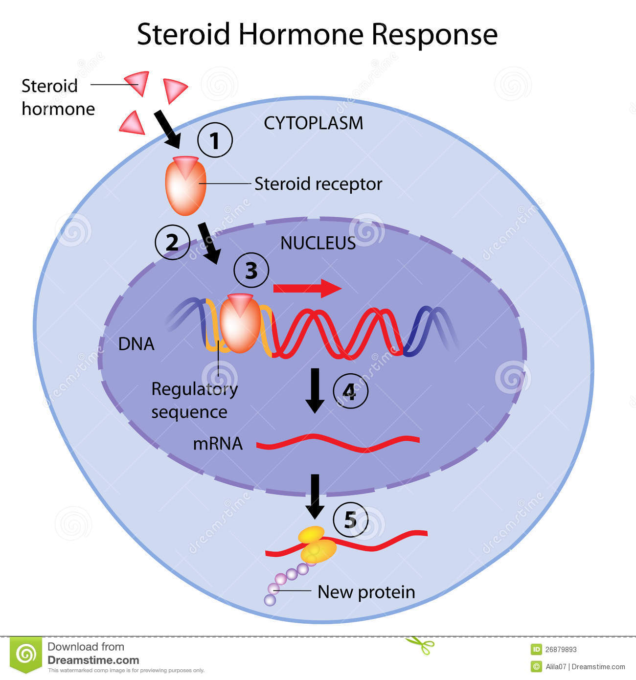 non steroid hormone action animation