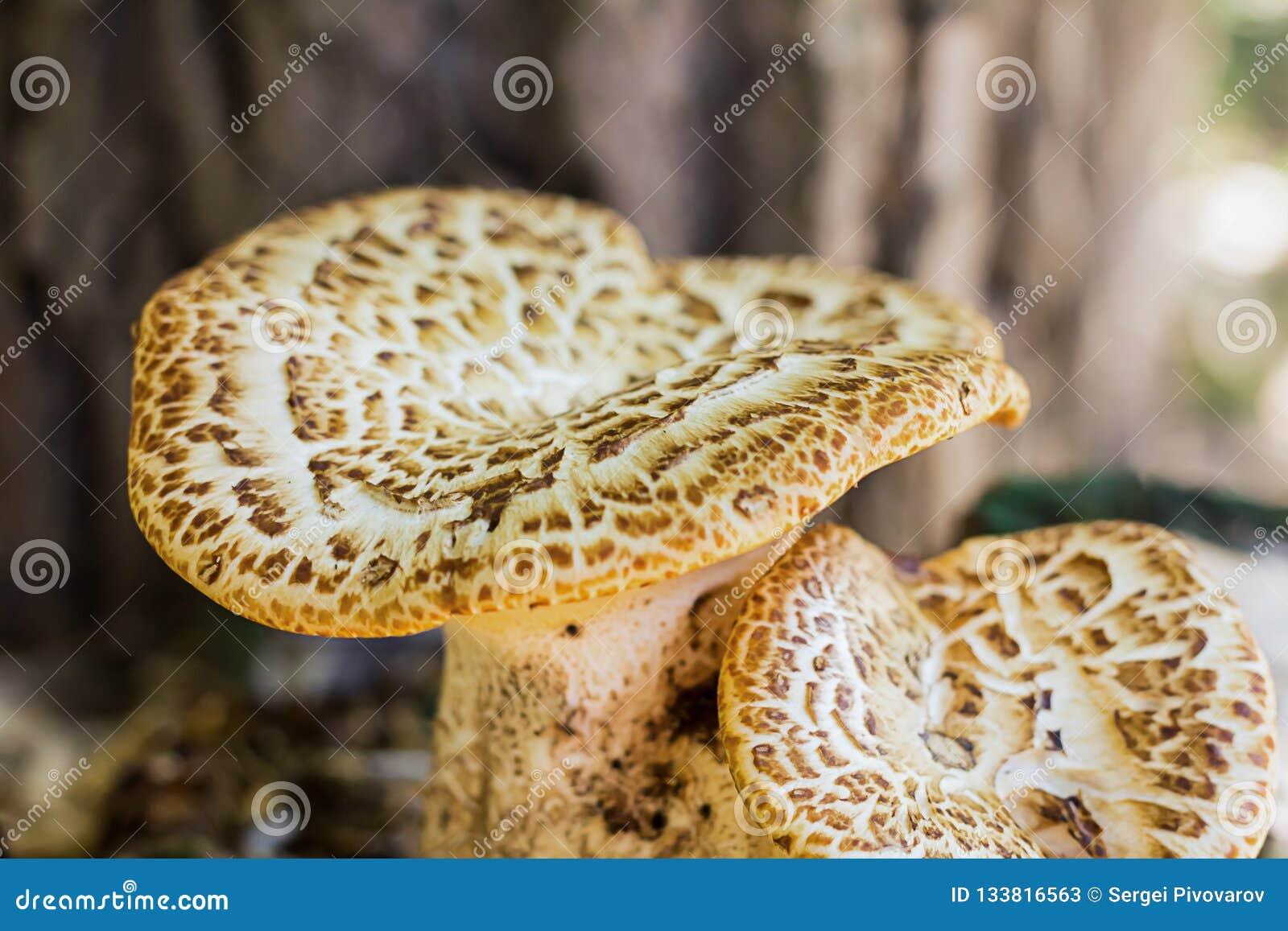 Accoppi del cappello ondulato del primo piano di chaga dei funghi con la foresta non commestibile marrone del fondo della pianta
