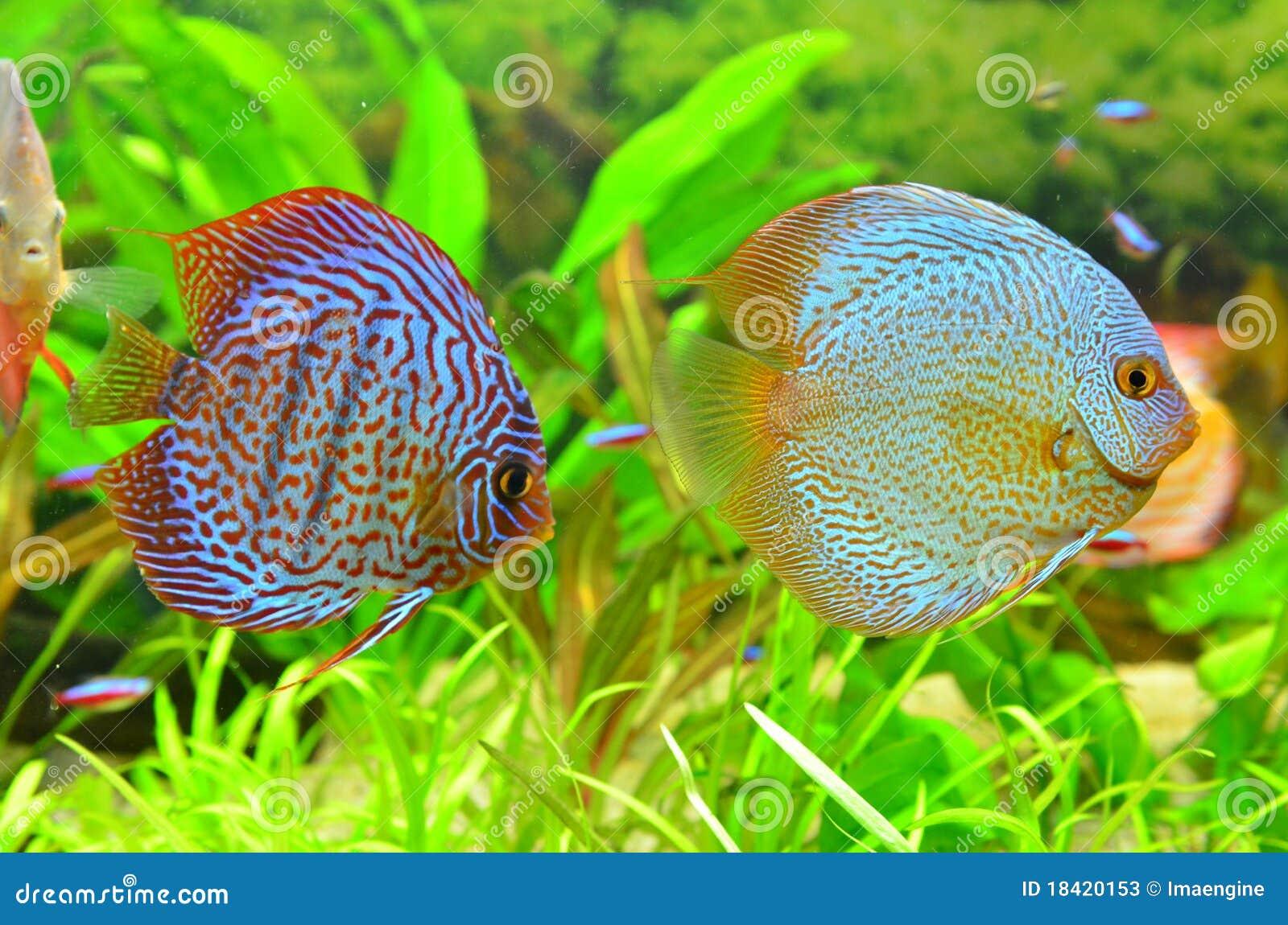Accoppiamenti del discus pesci tropicali dell 39 acquario for Pesce discus