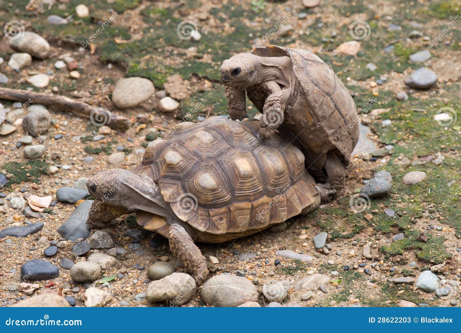 Accoppiamento delle tartarughe fotografie stock immagine for Tartarughe in amore