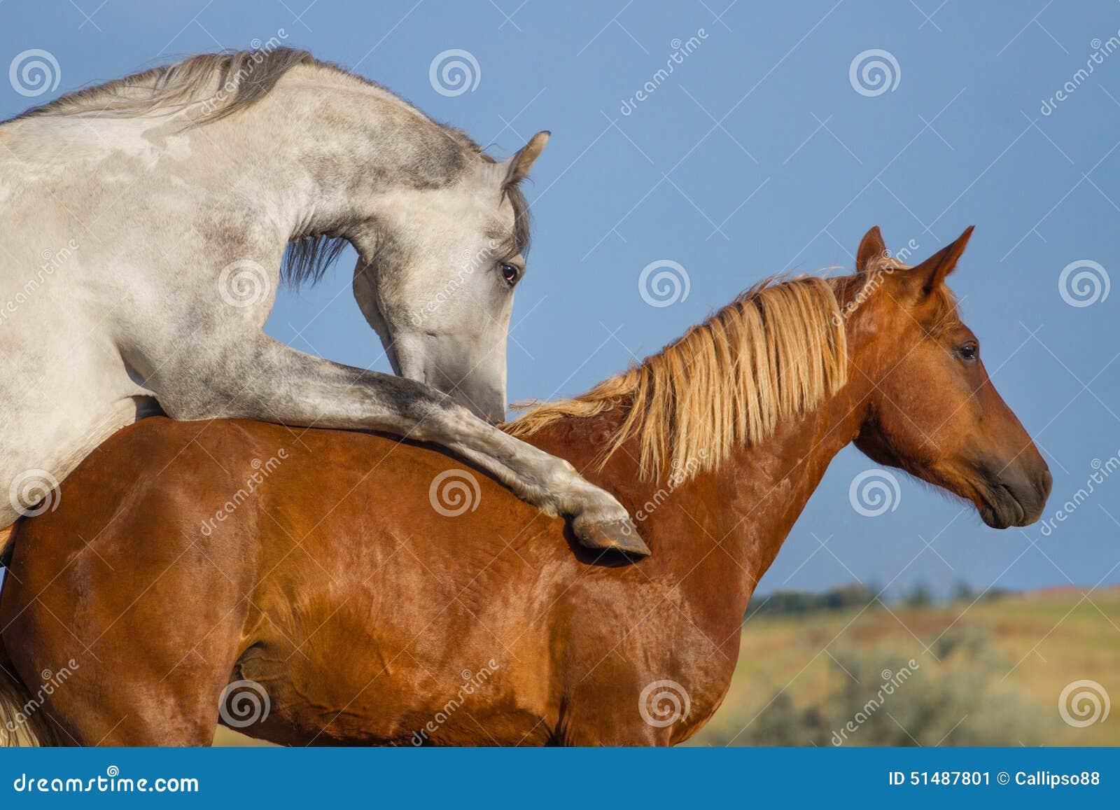 accouplement de deux chevaux photo stock image 51487801. Black Bedroom Furniture Sets. Home Design Ideas