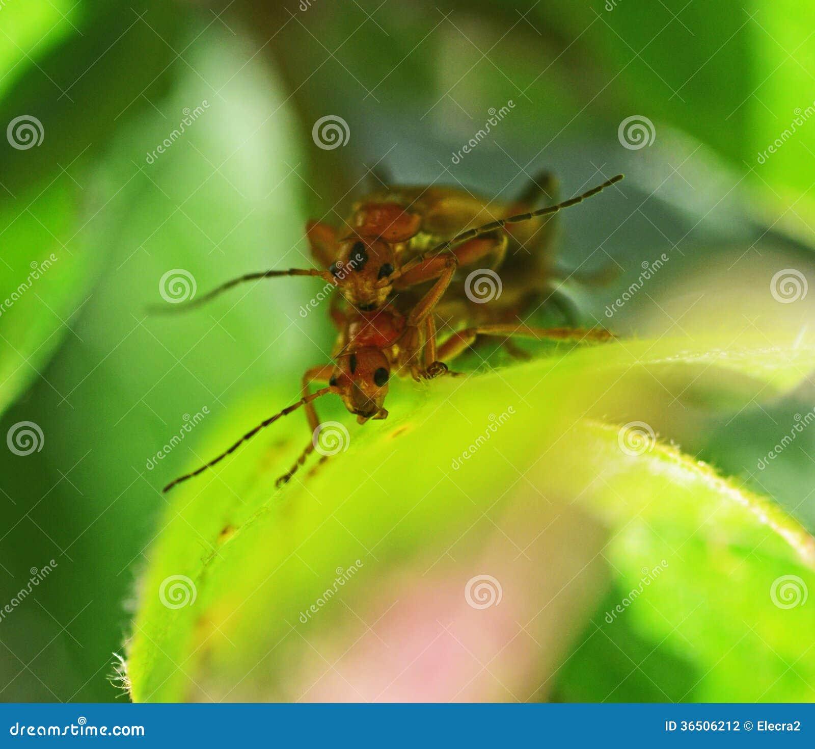 Accouplement de deux insectes