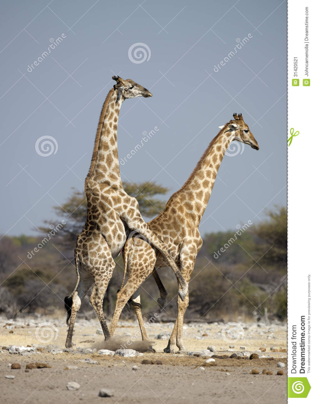 http://thumbs.dreamstime.com/z/accouplement-de-girafe-31420521.jpg