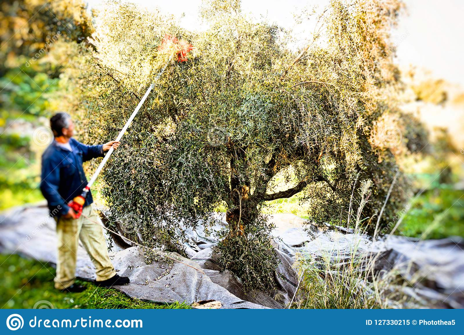 Aceitunas de la cosecha en Kalamata, Grecia