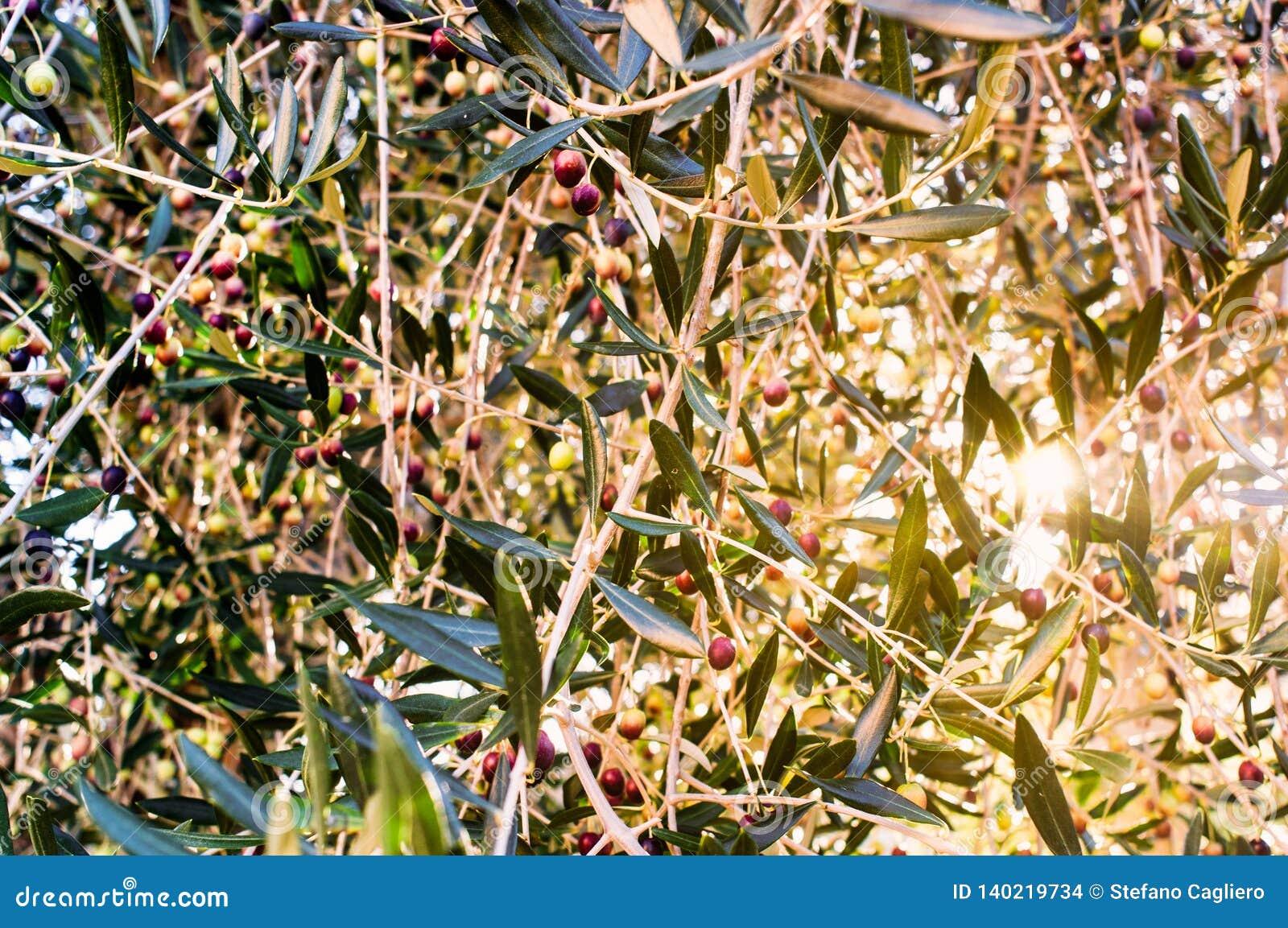 Aceitunas en la rama del olivo en la puesta del sol