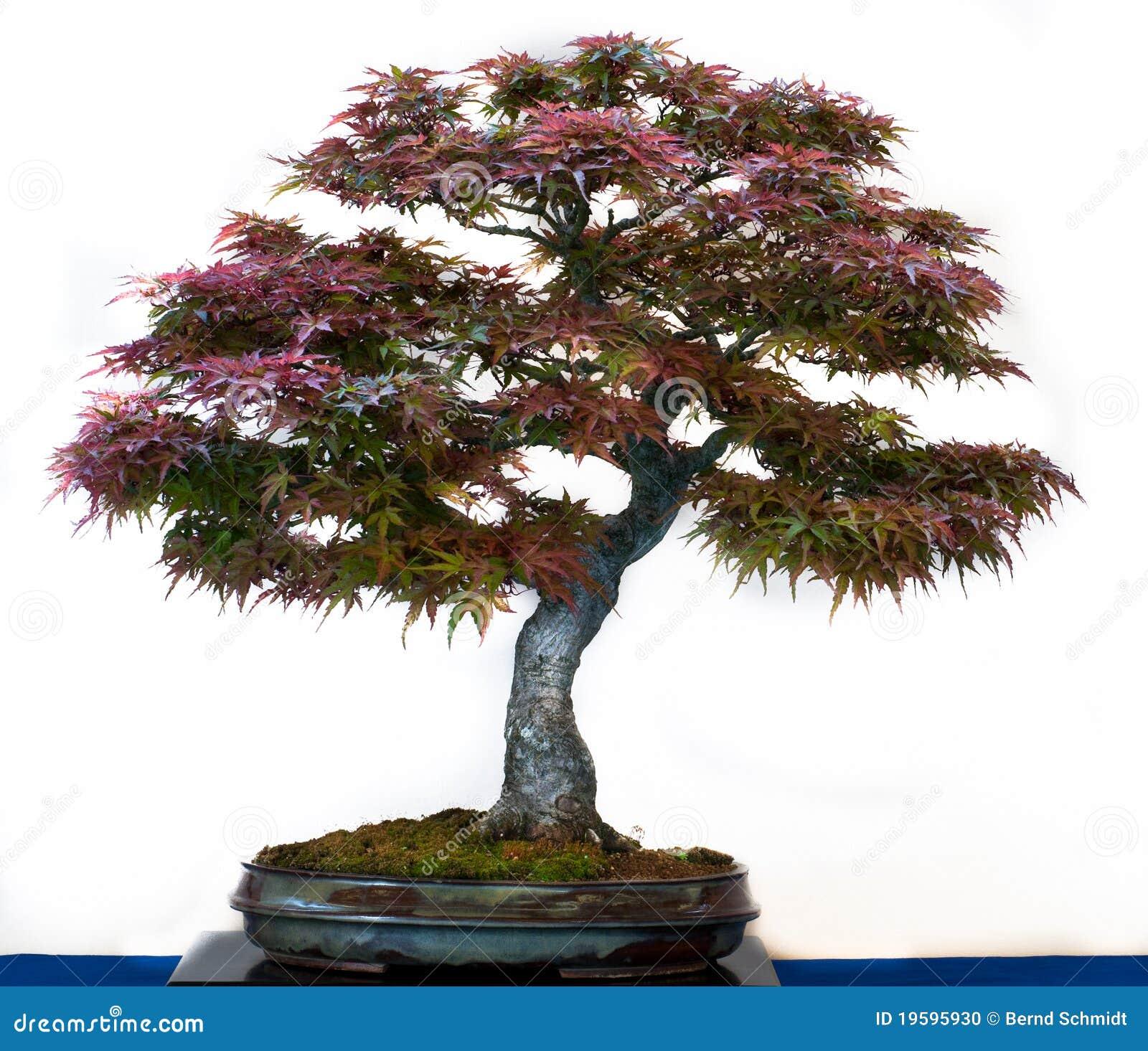 Acer Palmatum As Bonsai Tree Stock Photo Image Of Leaf Moss 19595930