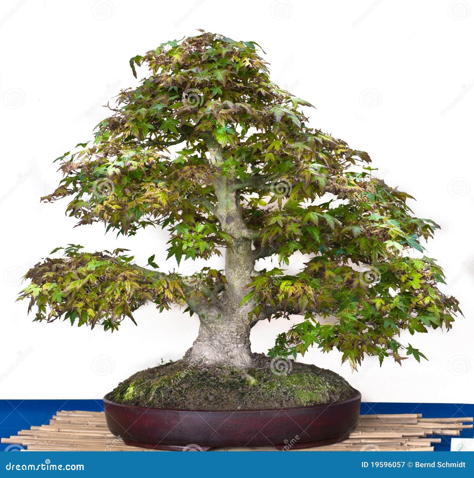 Acer Palmatum As Bonsai Tree Stock Image Image Of Buddhism Nature