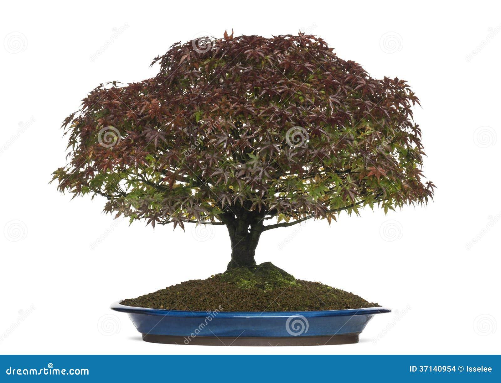 Acer Palmatum Kiyohime Bonsai Tree Isolated Stock Photo Image Of