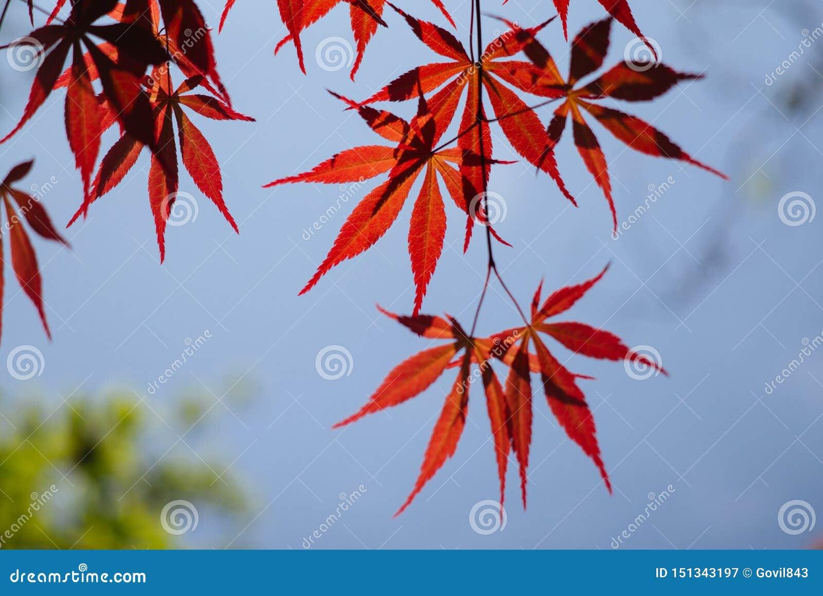 Acer palmatum, powszechnie znać jako palmate klon, Japoński klon lub gładki klon, jest Jap gatunki odrewniałej rośliny miejscowy