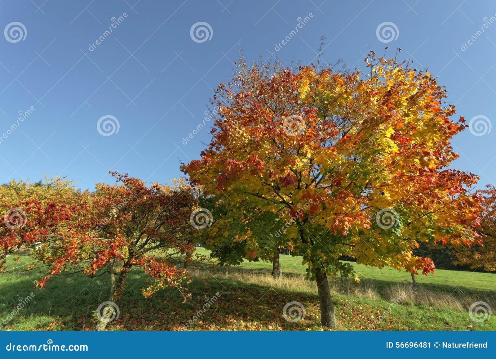 Acer platanoides acero riccio in autunno hagen bassa for Acero riccio
