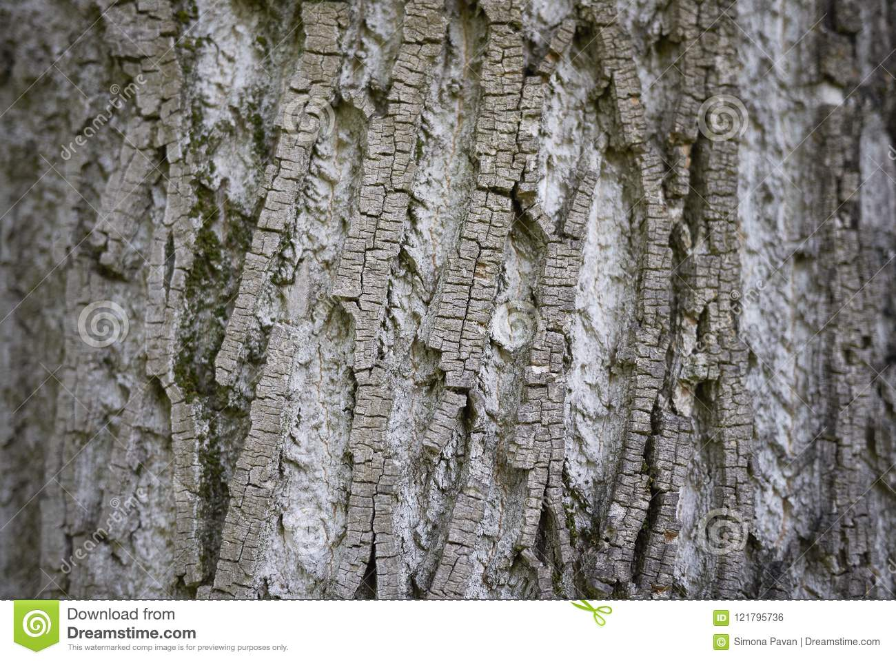 Acer Saccharinum Truck Stock Photo Image Of Flora Environment