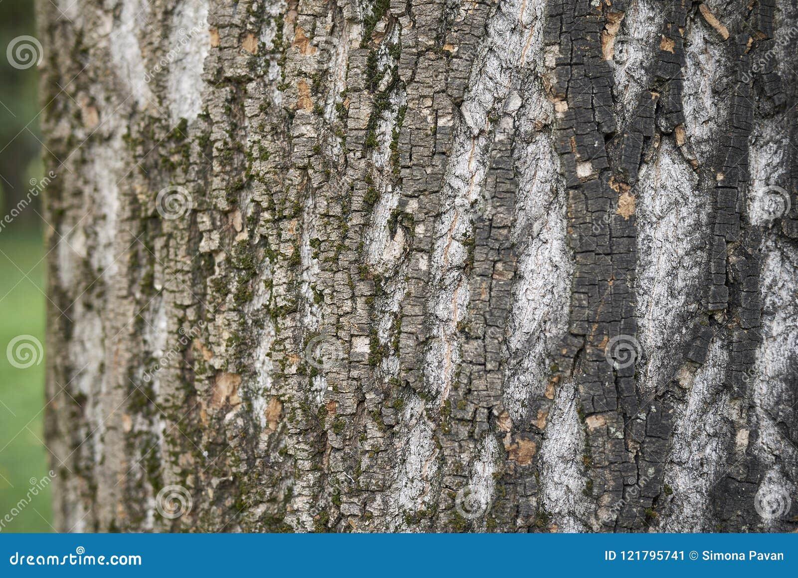 Acer Saccharinum Trunk Stock Image Image Of Background 121795741