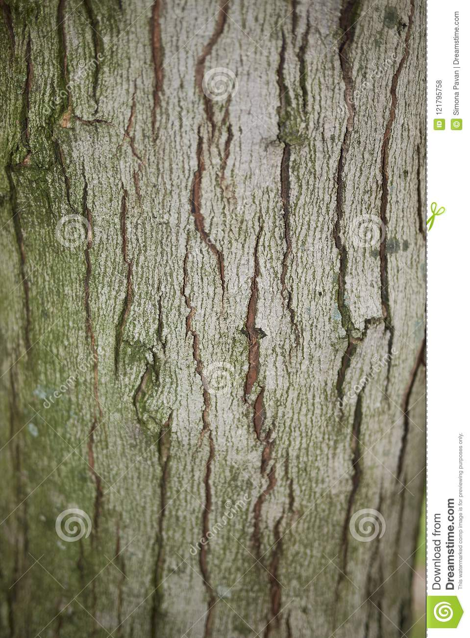 Acer Saccharinum Trunk Stock Photo Image Of Colorful 121795758