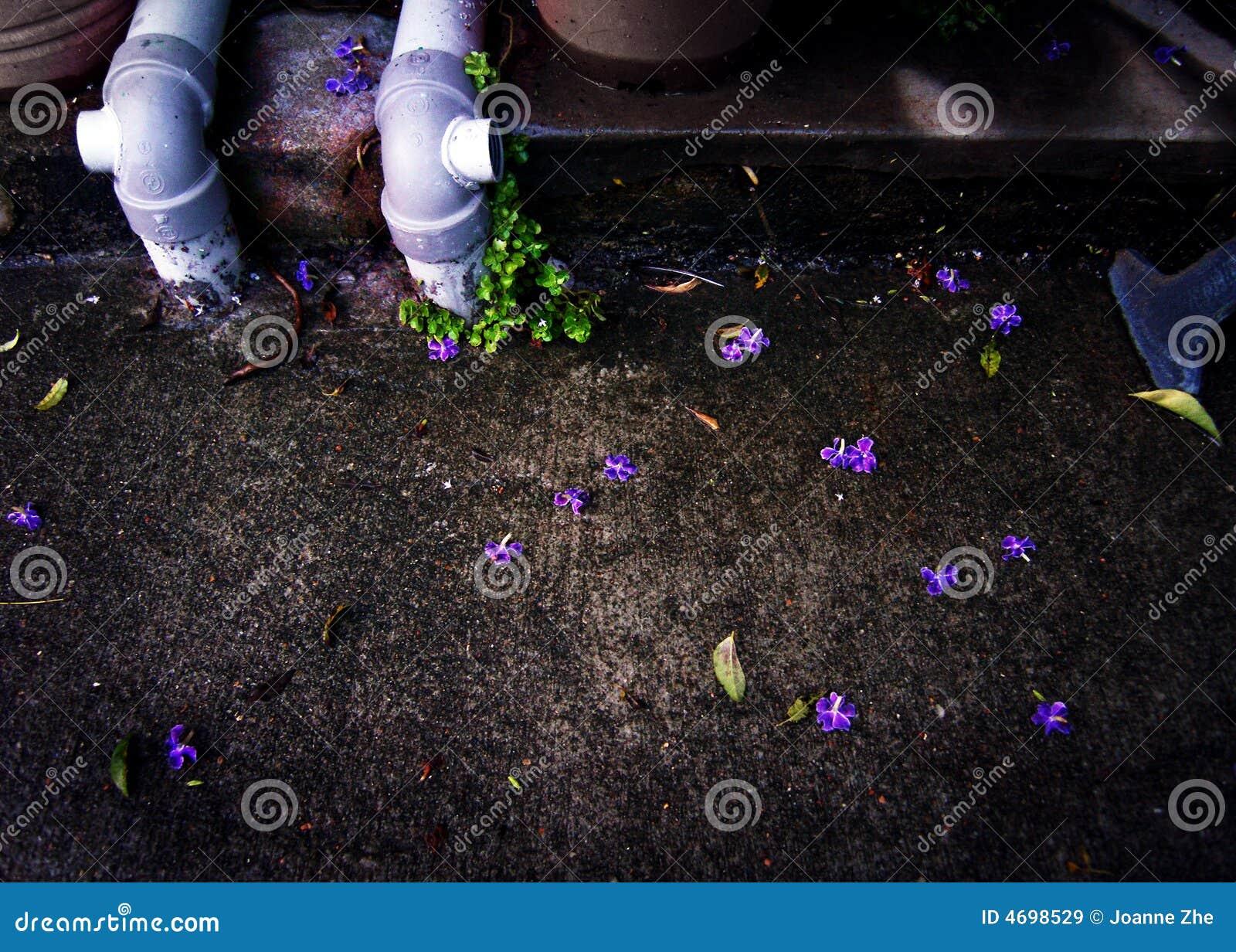 Acera y pétalos púrpuras caidos de la flor