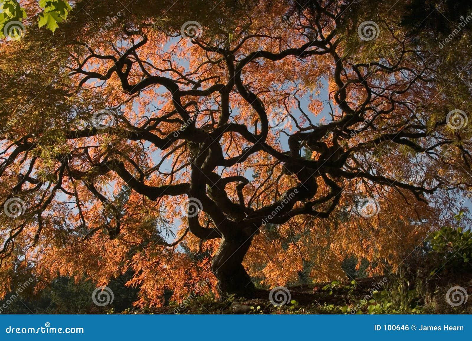 Acero giapponese fotografia stock immagine di torto for Acero giapponese