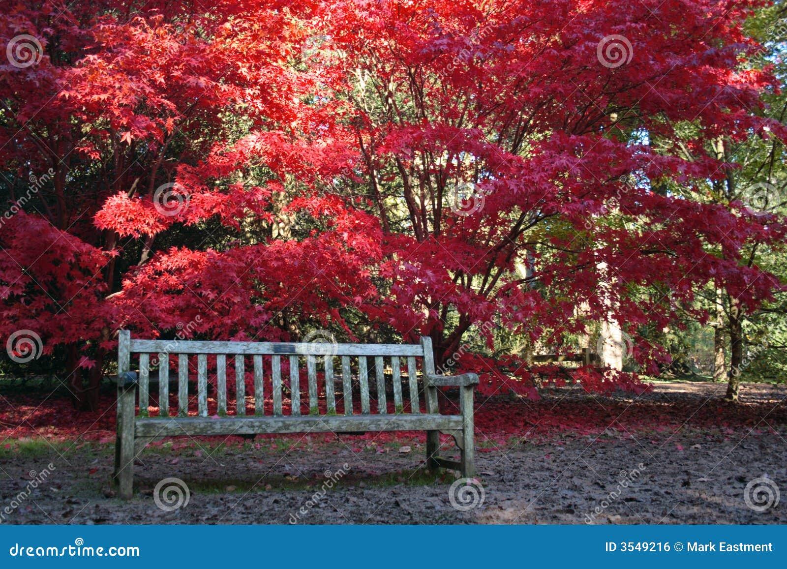 Acero giapponese e banco fotografia stock immagine di for Acero giapponese