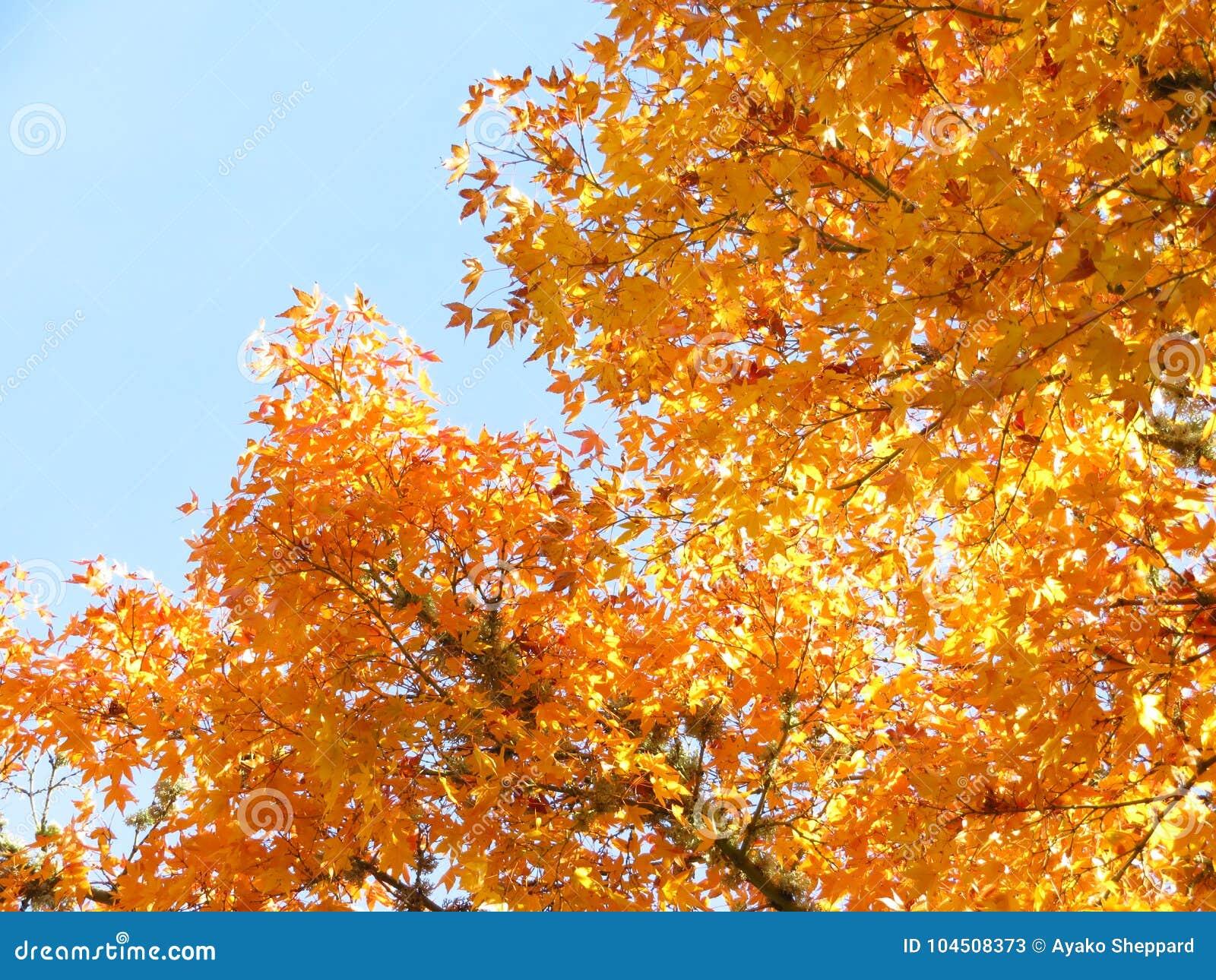 Acero Blu Giapponese acero giapponese e cielo blu gialli immagine stock