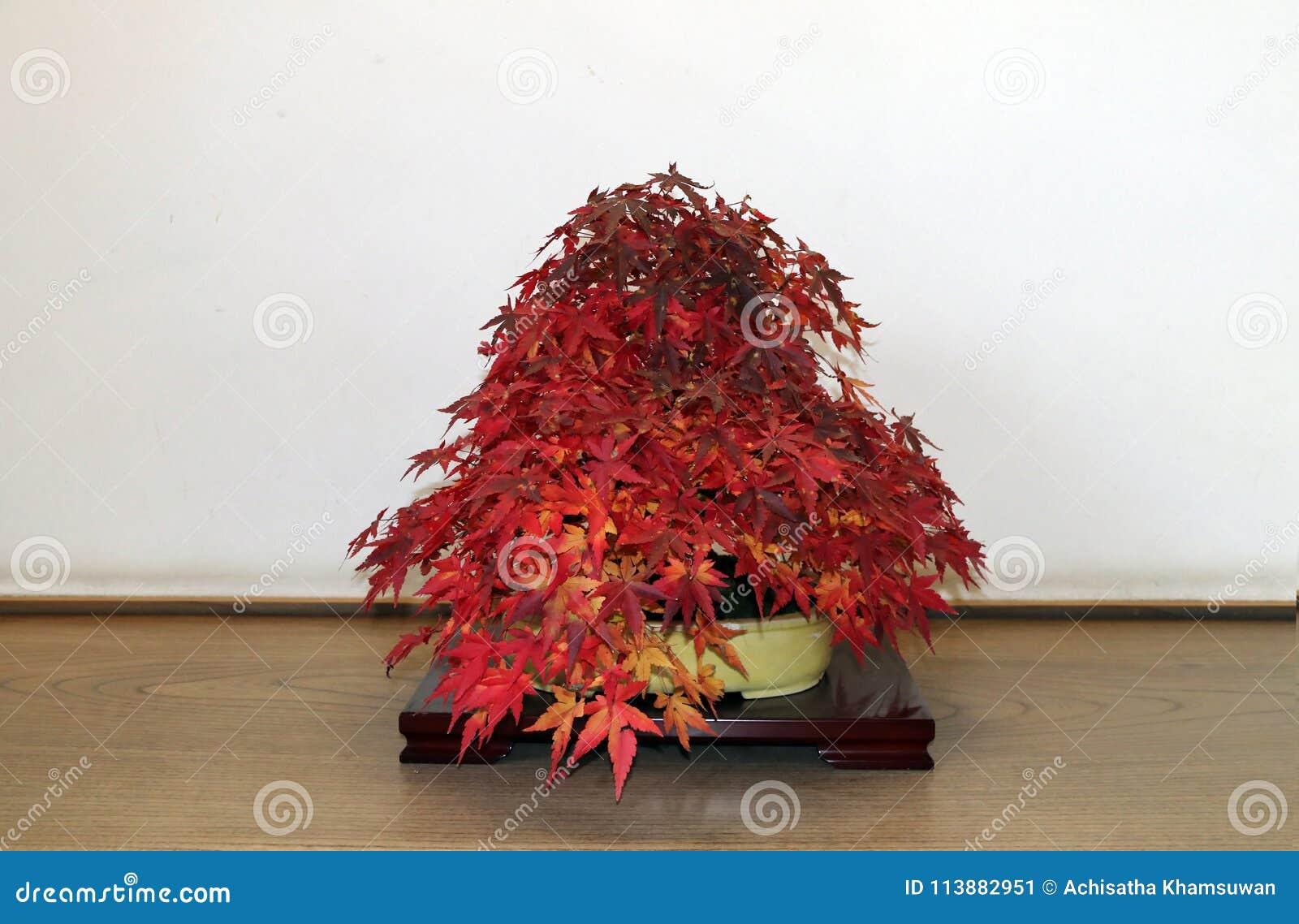Acero giapponese rosso dei bonsai sul ramo dell 39 albero nel for Acero giapponese in vaso