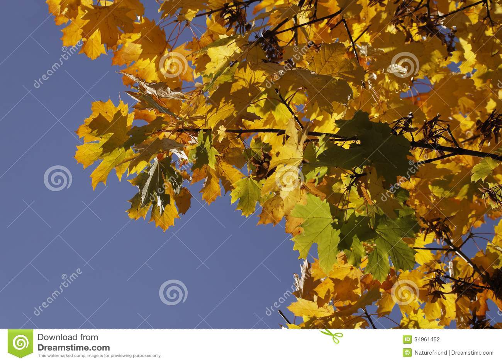 Acero riccio acer platanoides in autunno germania for Acero riccio