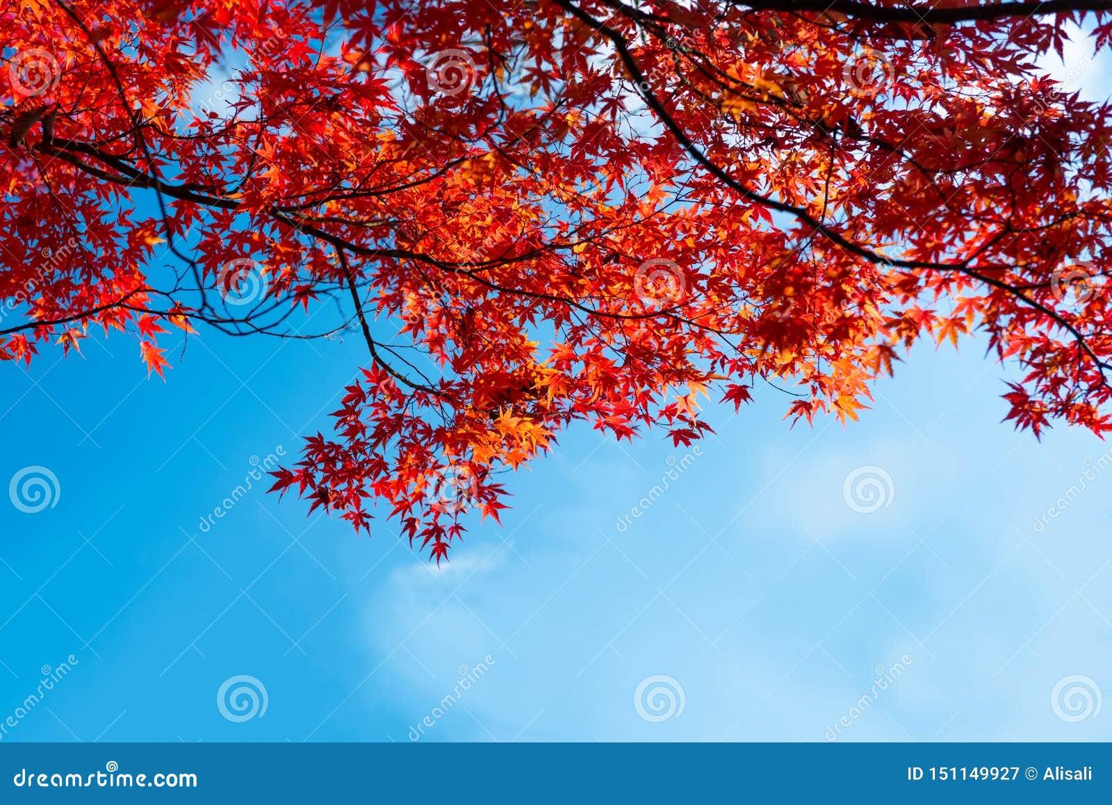 Acero Blu Giapponese acero rosso giapponese con il fondo di autunno del cielo blu