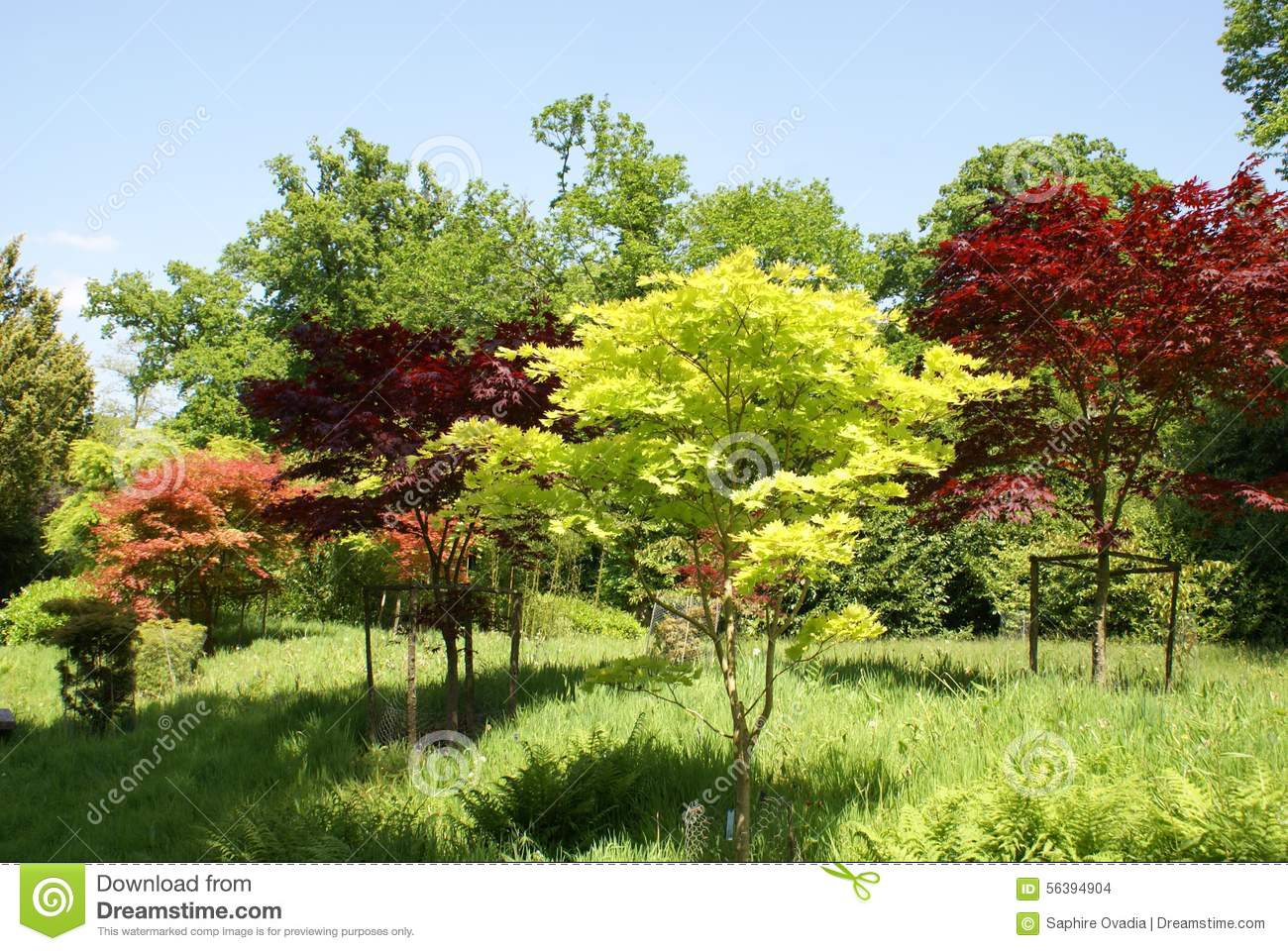 Acers deciduous trees japanese garden stock photo for Garden trees england