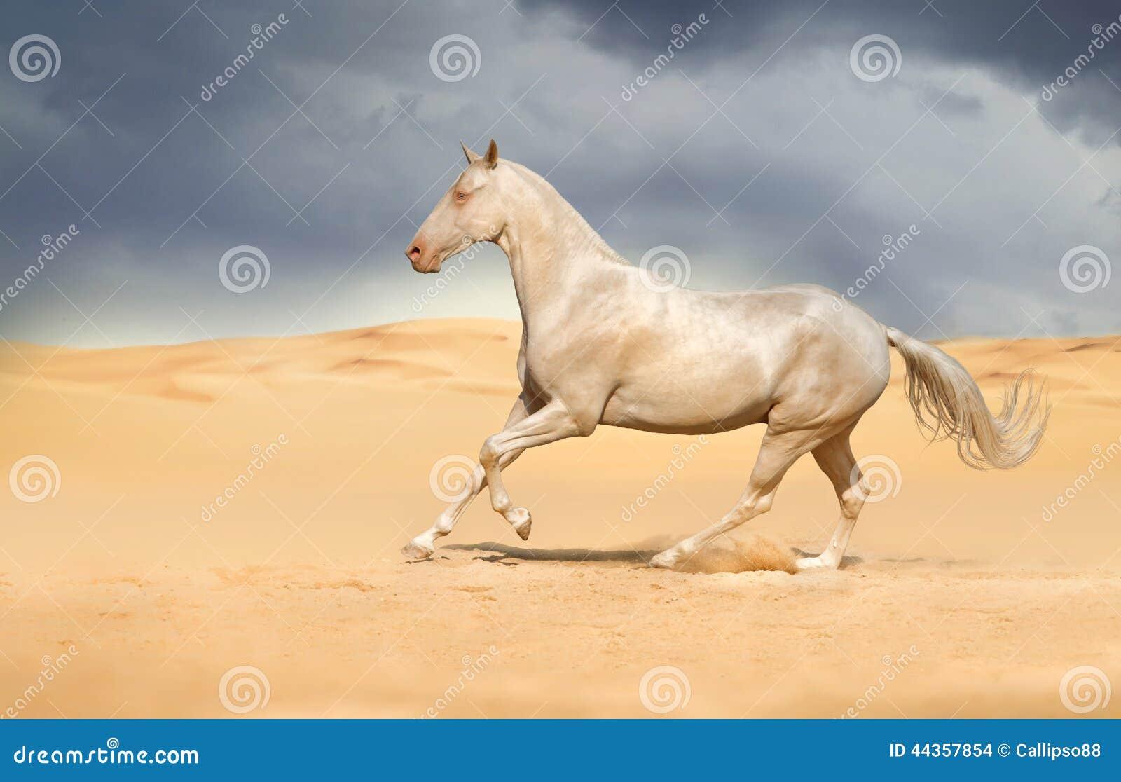 Achal-teke horse run gallop
