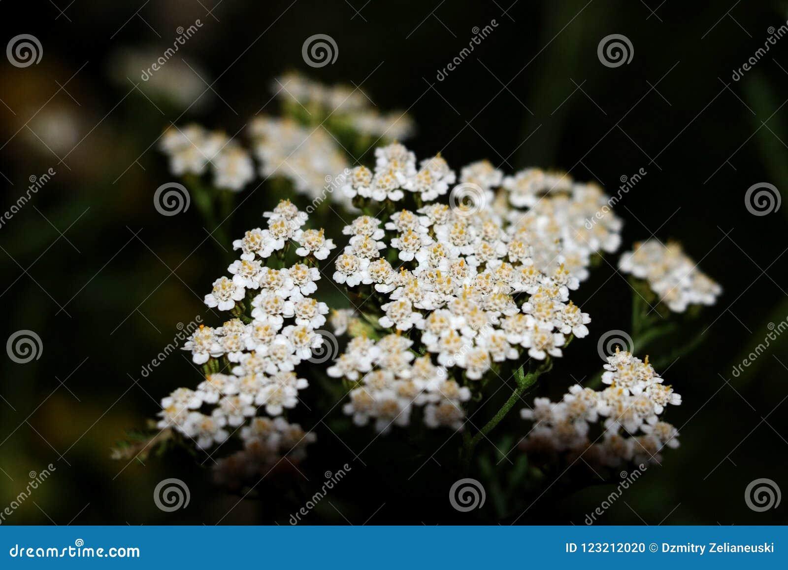 Achillea för gemensam yarrow millefoliumwhite blommar tätt upp bästa sikt som blom- bakgrund mot grönt suddigt gräs