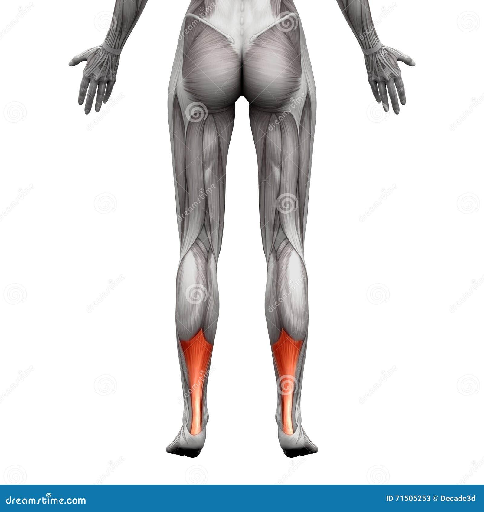 Achilles Tendon Anatomie Muskel Lokalisiert Auf Wei Illust 3d