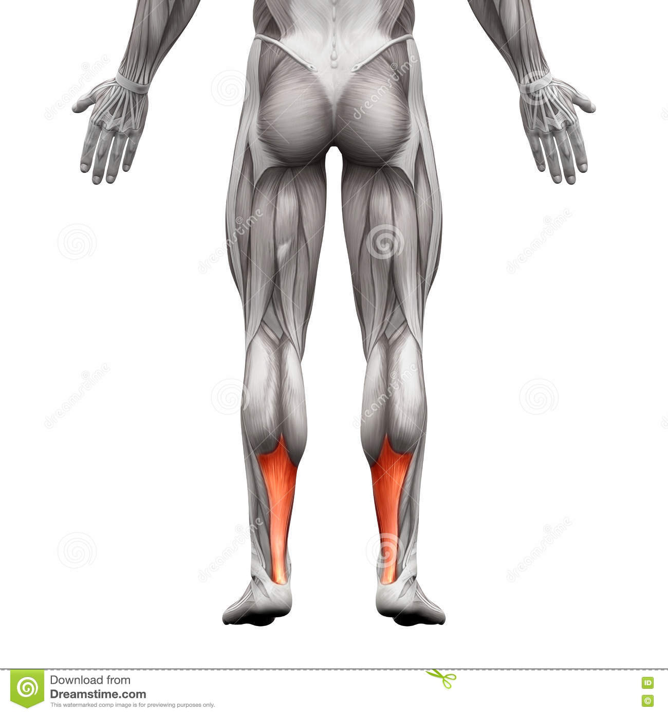 Achilles Tendon - Anatomy Muscle - Isolated On White - 3D Illust ...