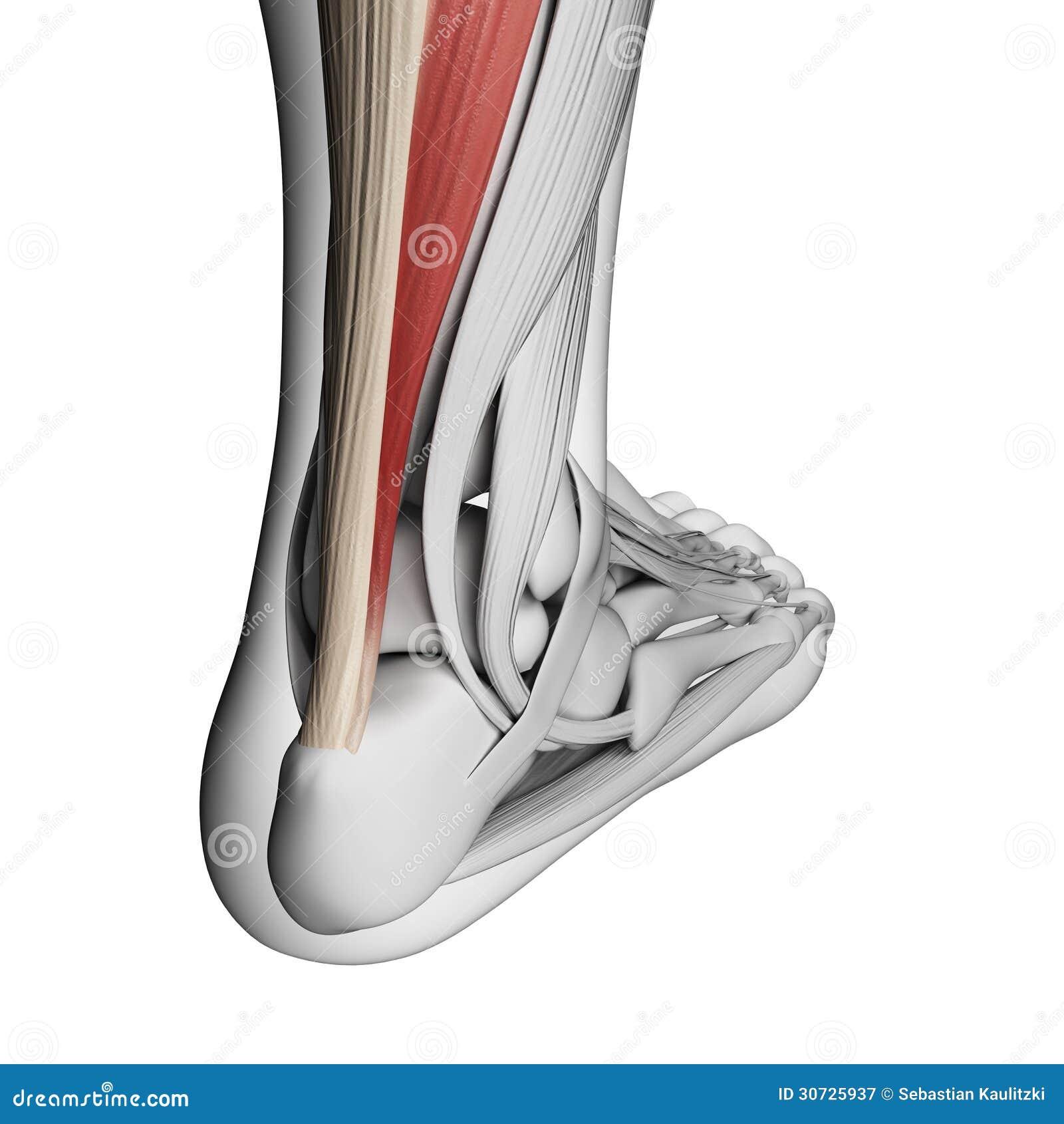 Achilles tendon stock illustration. Illustration of ankle - 30725937