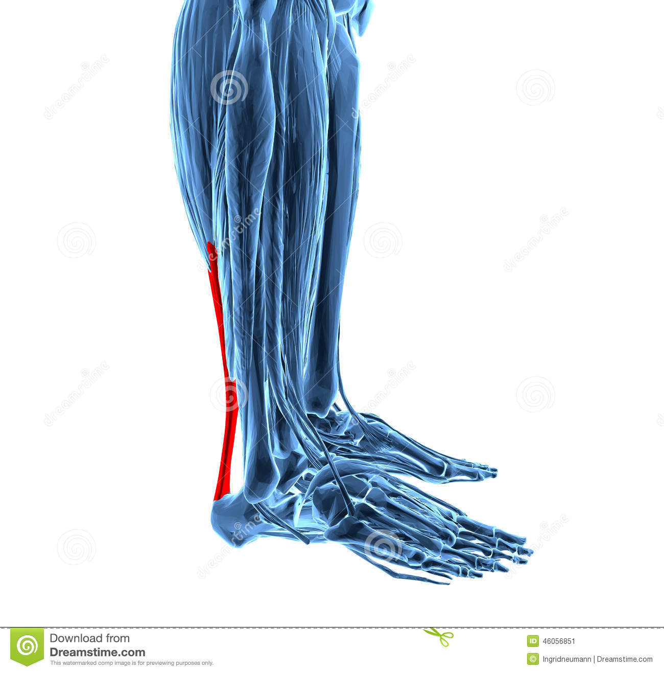 Achilles Tendon With Lower Leg Muscles Stock Illustration ...