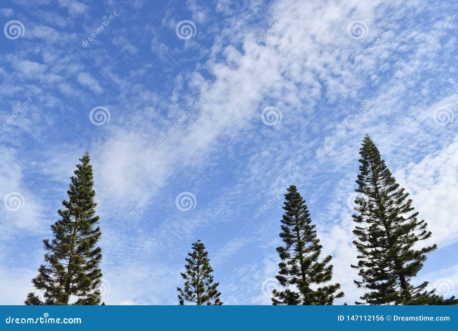 Achtergrond van de de winter de blauwe hemel met pijnboombomen