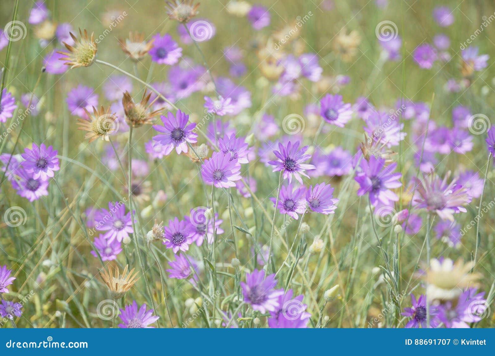 Achtergrond van purpere bloemen op groene weide in wildernis