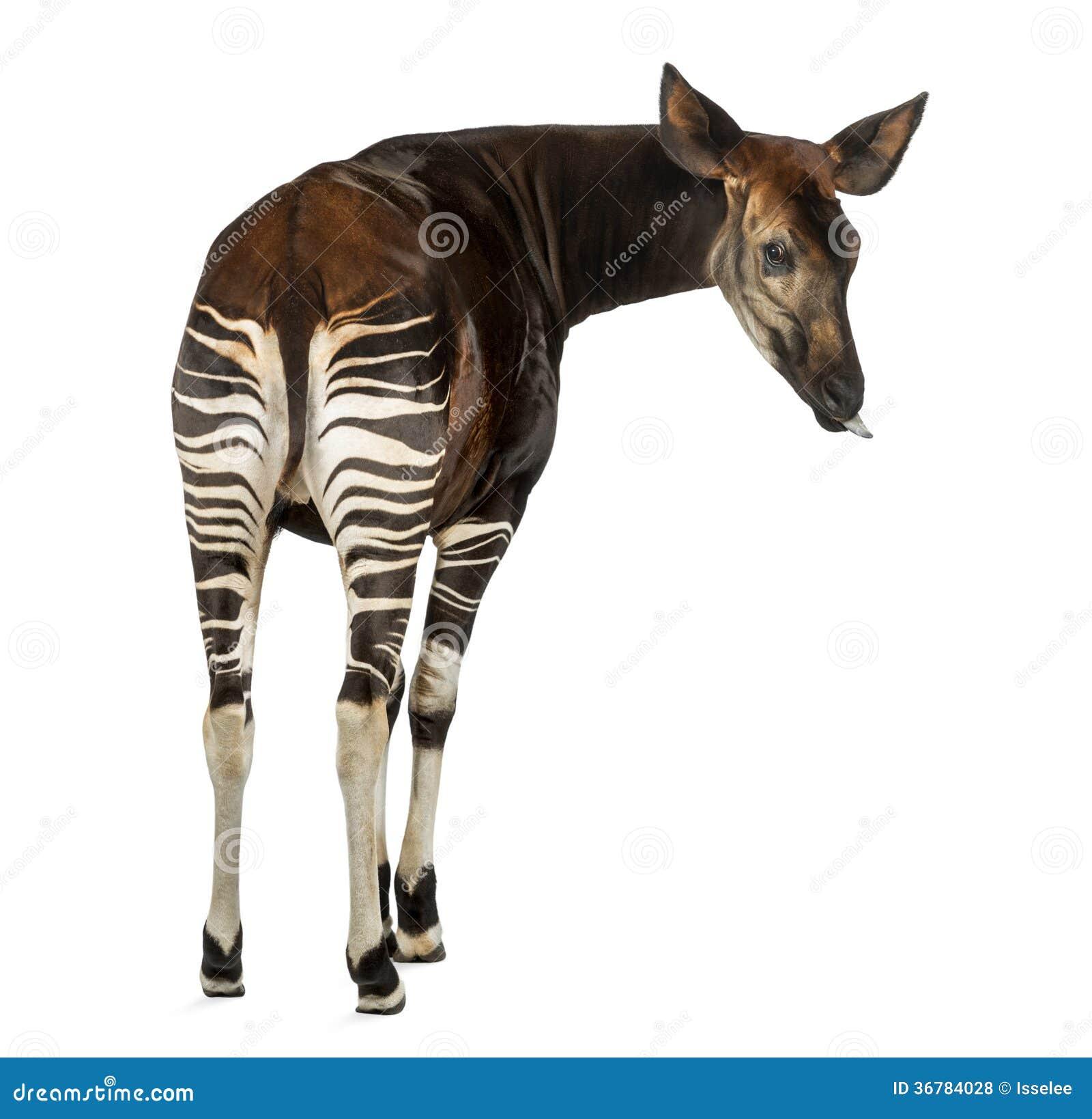 Tong Dies: Achtermening Van Een Okapi, Terug Kijkend Die, Zijn Tong