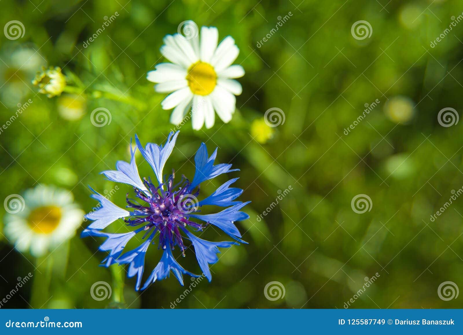Aciano azul y margarita blanca