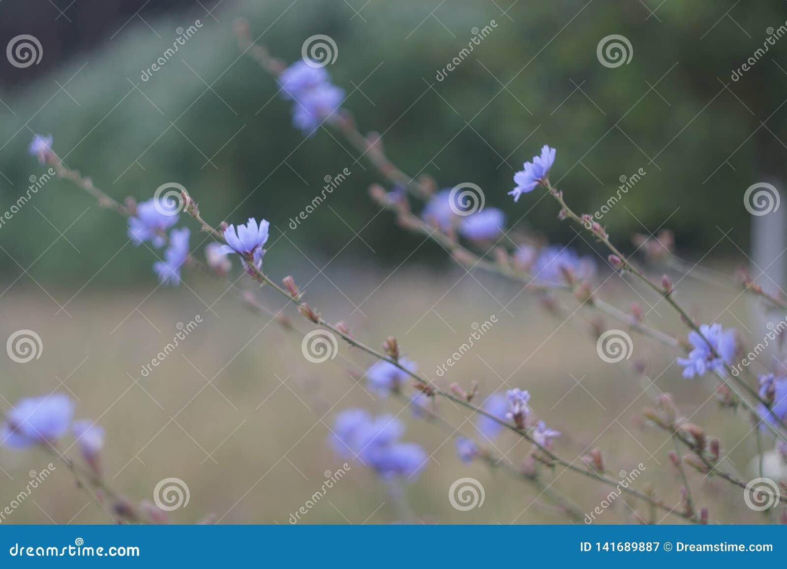 Aciano, naturaleza hermosa, macro verde, azul de la falta de definición