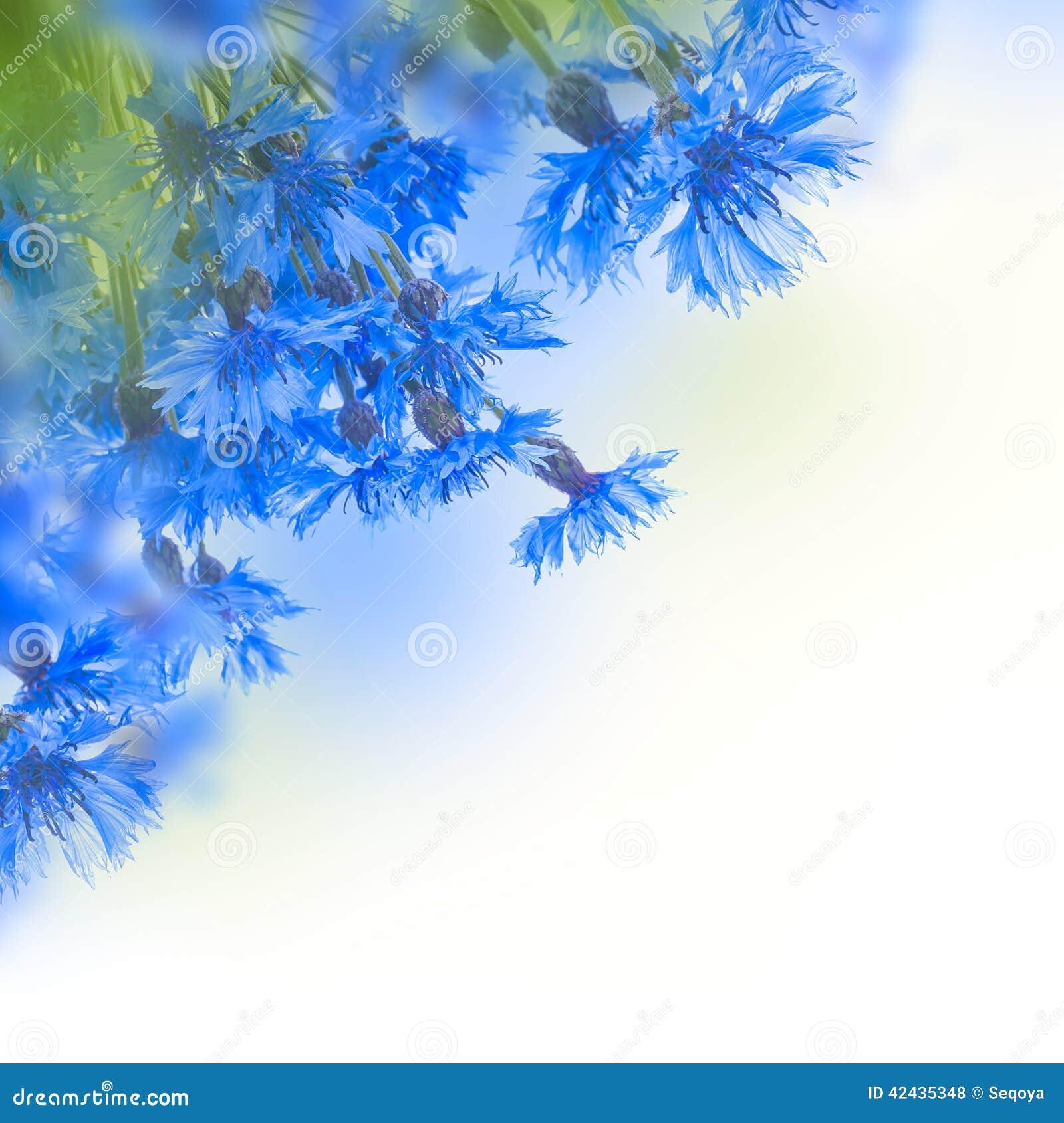 Acianos azules salvajes