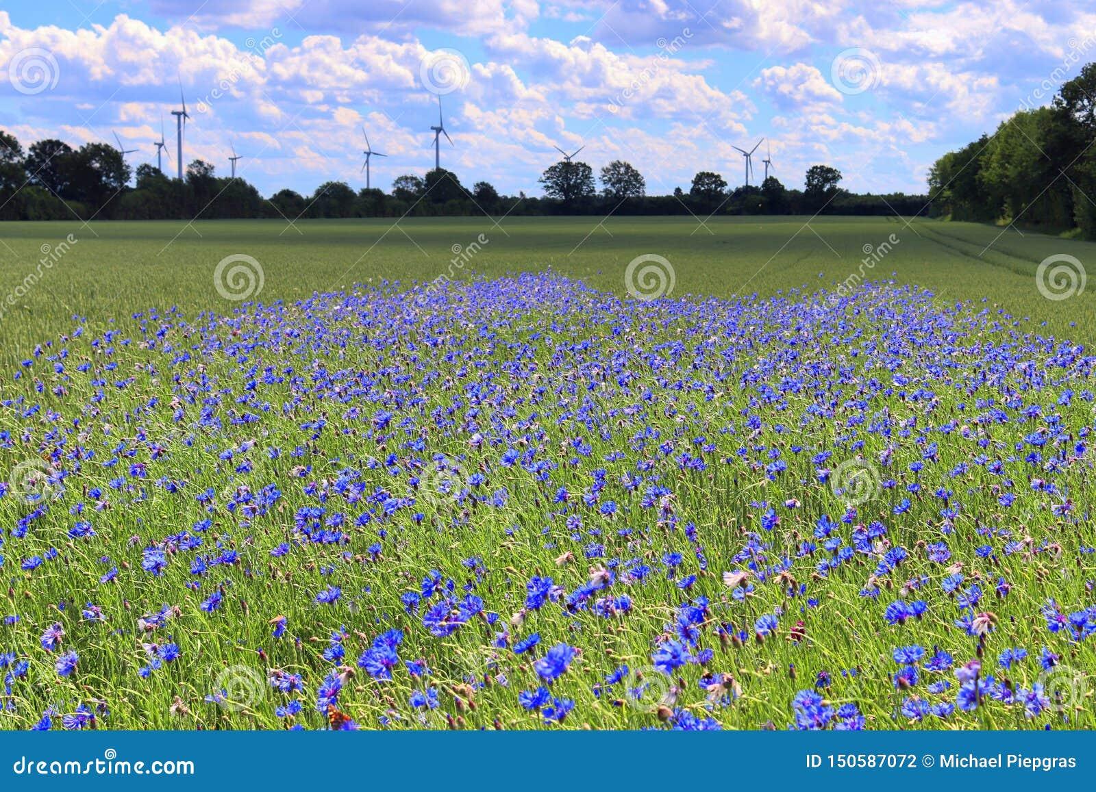 Acianos púrpuras hermosos en un campo agrícola de la cosecha en un día soleado