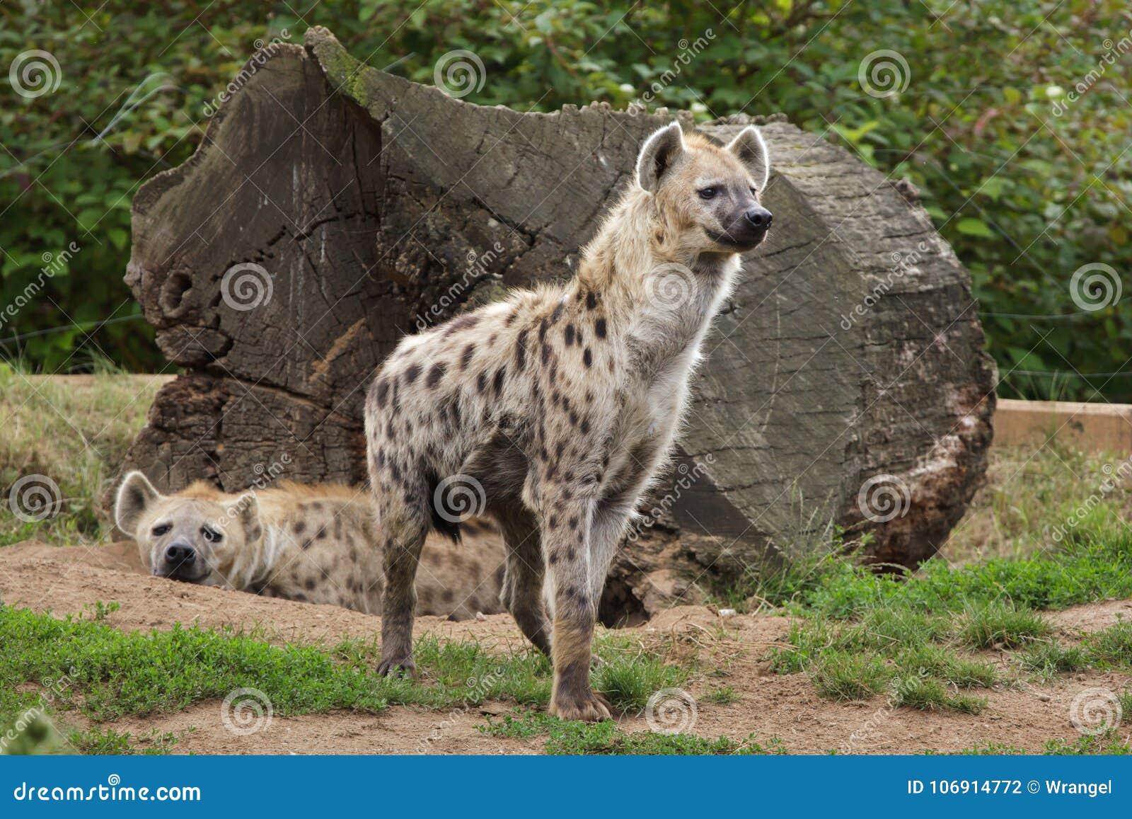 Łaciasty hieny Crocuta crocuta