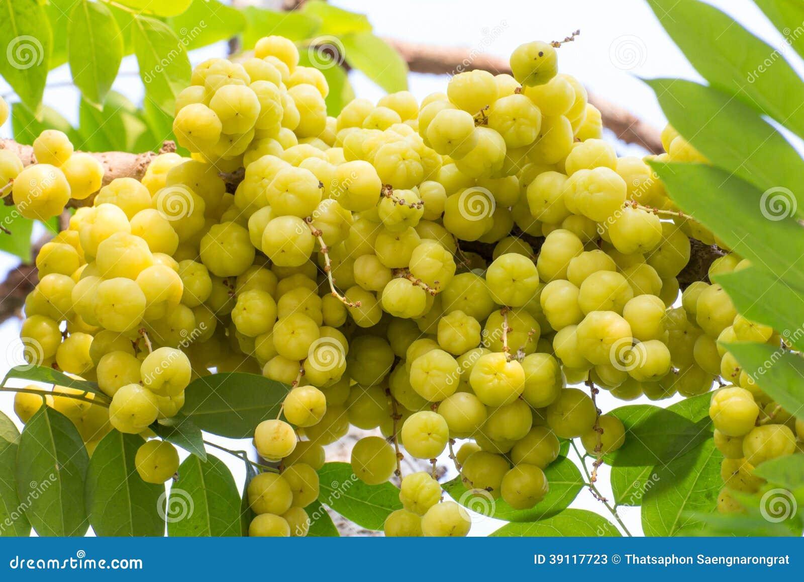 Acidus van stergosseberry Phyllanthus