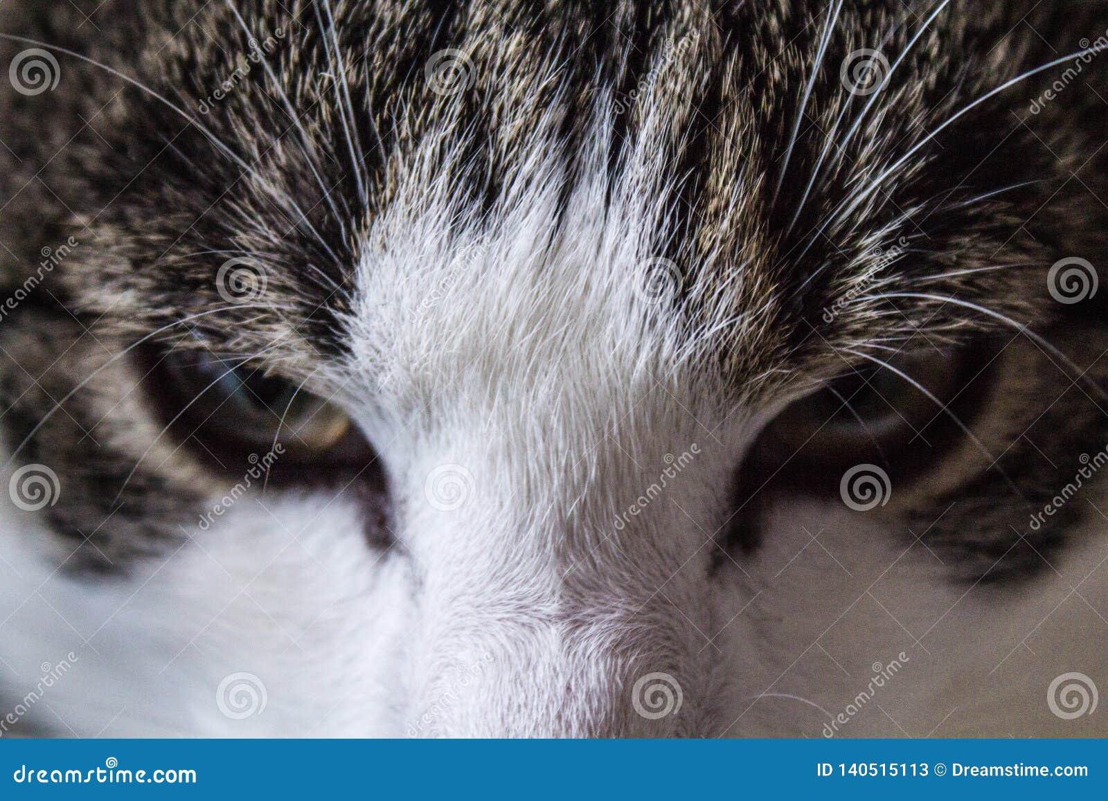 Acima-fim dos olhos de gato que levanta a cara