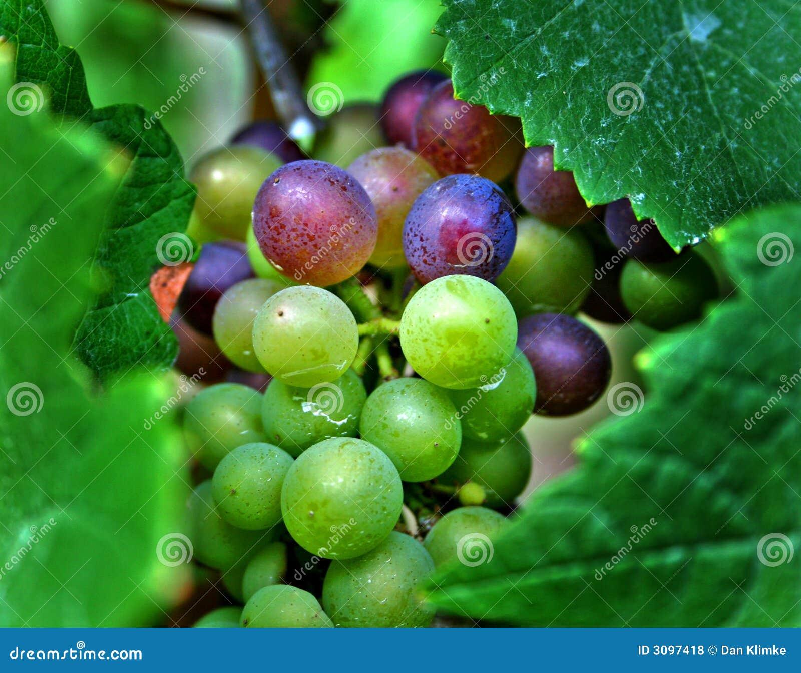 Acini d uva rossi e verdi